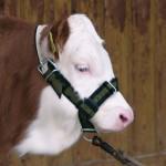 Licol pour vaches en trévira